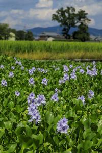 ホテイアオイ咲く(本薬師寺跡周辺) - 花景色-K.W.C. PhotoBlog