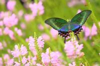 花と蝶(ハナトラノオにミヤマカラスアゲハ)その2 - 白鳥賛歌