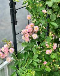 エンドレス剪定のバラ達♡と、クリクリお目々の可愛い奴と、久しぶりの薬剤散布♫ - 薪割りマコのバラの庭