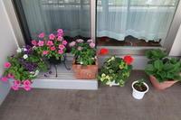 ベランダ園芸わが家の花ペチュニア、ペンタスなど - ニッキーののんびり気まま暮らし