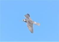白いハヤブサ - 四季の鳥達歌