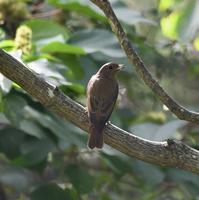 オオルリ幼鳥メジロ - 打出頑爺の鳥探し