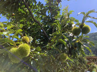今年も栗の収穫作業のお手伝い。 - 蔵カフェ飯島茶寮