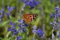 モンシロチョウ花壇の蝶 - 蝶のいる風景blog