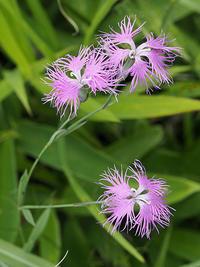 秋の七草について考えてみよう-その2- - 自然観察大学ブログ