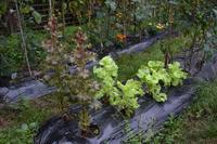 自然栽培秋に向かう?豆やトマトの収穫クロッカス - 自然栽培 釧路日記