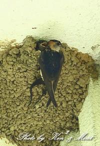 「コシアカツバメ」さん親子と「ツバメ」さん親子♪ - ケンケン&ミントの鳥撮りLifeⅡ