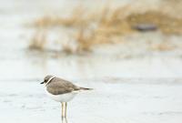 コチドリ - 北の野鳥たち