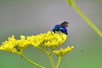 オミナエシに集まる虫たち - Taro's Photo