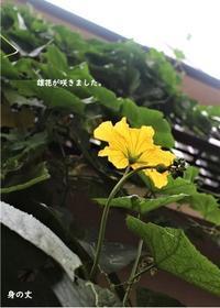 ヘチマのその後⑪雄花の開花 - 身の丈暮らし  ~ 築60年の中古住宅とともに ~