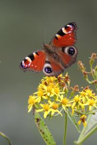 高原で出会った蝶② - 雅郎の花鳥風月