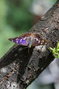 クロコムラサキの翅表の輝き - 蝶超天国