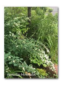 本格カレーに挑戦 - 雪割草 - Primula modesta -