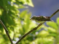 お山のコサメビタキ幼鳥(ベランダから(その11)) - トドの野鳥日記