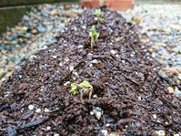 大根 種まきから3日目 - NATURALLY