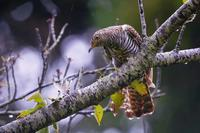 秋の渡り、雨のツツドリ(筒鳥)赤型 - 野鳥などの撮影記録