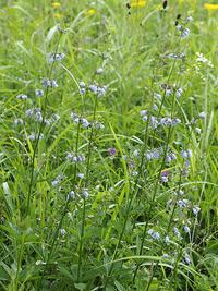 秋の七草について考えてみよう-その3- - 自然観察大学ブログ