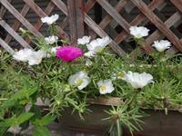 松葉牡丹 - だんご虫の花