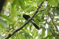 サンコウチョウ - そらと林と鳥