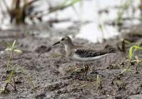 田園地帯のシギ・チドリ - 私の鳥撮り散歩
