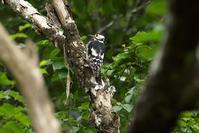 2020-159 アカゲラ - 近隣の野鳥を探して2
