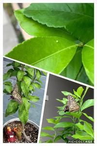 アゲハ蝶との戦い - 編み好き@amiami通信