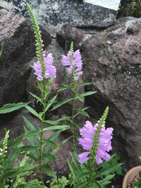 ハナトラノオ(花虎の尾) - 自然を見つめて自分と向き合う心の花