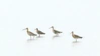 オグロシギ - 北の野鳥たち