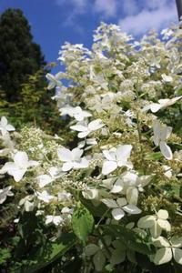 巨大化するノリウツギ&水玉の女王 - ペコリの庭と時々パン