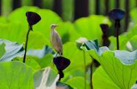ヨシゴイ幼鳥2 - ひげ親爺の探鳥日記