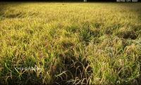 稲刈りと露草 - どんぐりの木の下で……