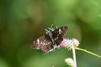 ダイミョウセセリ - 続・蝶と自然の物語
