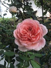 今日良い感じに咲いていたバラと剪定後の様子 - バラやらナンやら