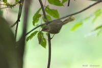 ウグイス<幼鳥> - 奥武蔵の自然