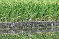 田園地帯でタカブシギ&エリマキシギに逢う - 私の鳥撮り散歩