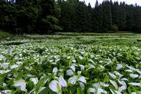 岡田の半夏生園(前編) - 花景色-K.W.C. PhotoBlog