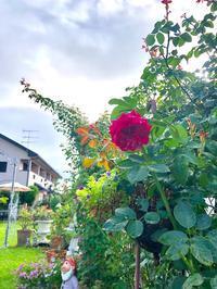 秋バラ咲き始めちゃいました(笑)と素敵便来た〜\(//∇//)\ - 薪割りマコのバラの庭