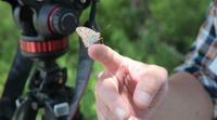 高原で出会った蝶④ - 雅郎の花鳥風月