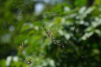 ■ジョロウグモが交接20.9.15 - 舞岡公園の自然2