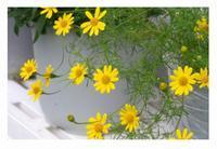 ダール・ベルグ・デージー - 花ありて 日々