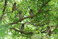 MFの「アオバズク」さん一家♪ー在庫からー - ケンケン&ミントの鳥撮りLifeⅡ