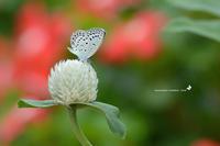 ご近所花壇で練習撮り、シジミチョウ達(2020/09/mid) - 里山便り
