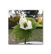 惜別 - 雪割草 - Primula modesta -