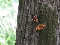 ミドリヒョウモンの求愛 - 秩父の蝶