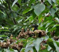 アカメガシワにやって来た(その3)・・・ - 一期一会の野鳥たち