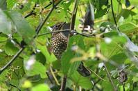 マミジロ - そらと林と鳥