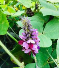 葛(クズ)の花 - 自然を見つめて自分と向き合う心の花