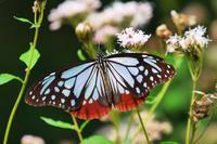 旅する蝶「アサギマダラ」が赤城自然に立ち寄り中♪ - 『私のデジタル写真眼』