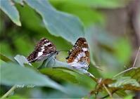 蝶を撮ってみました。① - バードカラー