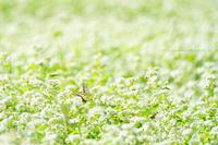 飯山市秋のそばの花開花中 - 野沢温泉とその周辺いろいろ2